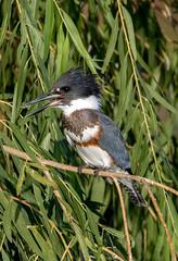 Belted Kingfisher (Ed Sivon) Tags: american america canon nature lasvegas wildlife wild western southwest sun clarkcounty clark vegas bird henderson nevada nevadadesert preserve