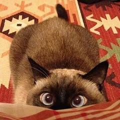 Mis fotos (Tximeletarosa) Tags: gatita gato mascota pupy siams tai merlina
