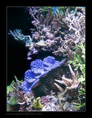 PDORmaxima4999 (kactusficus) Tags: aquarium captive marine reef fauna fish coral paris france palais portedore doree tropical tropicaux clam tridacna maxima blue bleu benitier
