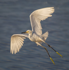 Snowy take-off (tresed47) Tags: 2016 201608aug 20160819bombayhookbirds birds bombayhook canon7d content delaware egret folder peterscamera petersphotos places snowyegret takenby us ngc