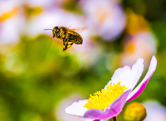 Bee bokeh (Steve-h) Tags: nature natura natur naturaleza insect bee flowers plants blossoms flight bokeh depthoffield colour colours purple pink orange green white summer august 2016 dublin ireland ef eos canon camera macro lens digital exposure wildlife steveh japaneseanemone happybokehwednesday hbw