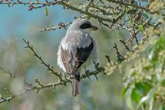 DSC6686 Lesser Grey Shrike.. (jefflack Wildlife&Nature) Tags: lessergreyshrike shrike shrikes birds avian wildlife wildbirds woodlands glades heathland hedgerows countryside nature