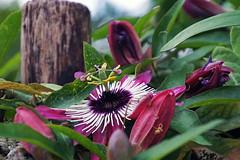 Passion flower (ingrid eulenfan) Tags: natur nature pflanze passion flower blten passionflower exotische pasin