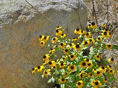 Prairie Cone Flowers and Granite (Lana Pahl / Country Star Images) Tags: catchycolors autumncolorsautumnseasoncolorsofflickr ilovenature mycountryroad