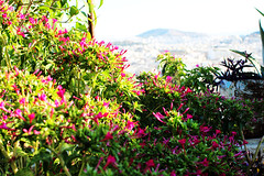 morning bloom (Katrinitsa) Tags: plaka athens greece anafiotika colors shadows canon  nature city cityscape architecture view graffiti cityview street sunlight purple fuschia shadow ef35mmf14lusm