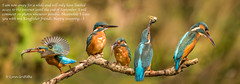Kingfisher fun while I'm away Merge5 with text.jpg (Mobile Lynn) Tags: people birds wild petewhieldon kingfisher nature aves bird chordata coraciiformes face faces fauna wildlife otterbourne england unitedkingdom gb