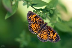 Pearl Crescent (Phyciodes tharos) (Douglas Heusser) Tags: wings photo lepidoptera wildlife nature lens 90mm tamron photography macro canon point may cape tharos phyciodes butterfly crescent pearl