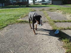 1474635672_2016_Sep_23_09-01-12_waterbottle071 (yclept8) Tags: doberman julie