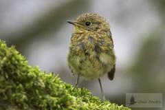 Petirrojo europeo juvenil (Erithacus rubecula) (jsnchezyage) Tags: erithacusrubecula ave fauna naturaleza birding bird petirrojoeuropeo
