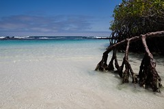 A view rooted in beauty (SpencerTheCookePhotography) Tags: ecuador galapagosislands galapagos mangroves tree roots ocean pacificocean water beach tortugabay islasantacruz santacruzisland southamerica nature outdoors landscape canon ultrawide