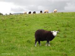 e keswick sheep (Simon -n- Kathy) Tags: keswick england lakedistrict lakelands hike rain walk castlerigg