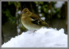 Vink (ditmaliepaard) Tags: snow bird sneeuw ngc vogel birdwatcher vink supershot inmijntuin doorhetkeukenraam