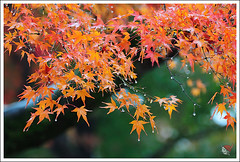 20121126_6564_ (Redhat/) Tags: autumn fall japan temple maple kyoto redhat              sinnyodo