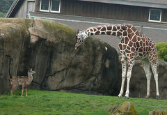 making new friends :) (leo811_sf (animal friends, sfzoo plus!)) Tags: nature animal wildlife giraffe calf babie sfzoo sanfranciscozoo kudu hoofstock