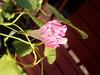 Nearly bloom morning glory (som300) Tags: flower plant morning glory motorola zn5