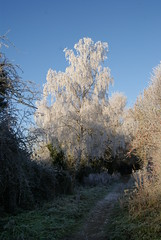 Silver Birch (Genshin One) Tags: autumn winter england white english nature beautiful outdoors countryside frost outdoor path buckinghamshire shapes frosty british birch shape silverbirch countrywalk railwaywalk buckinghamline