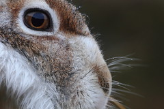 Scottish Mountain Hare - Extreme Close-up - Full Frame (No Crop!) (Lepus timidus scoticus) 6719 (Highland Andy (Andy Howard)) Tags: blue winter mountain mountains detail animal closeup scotland highlands hare close wildlife scottish highland aviemore cairngorm cairngormnationalpark 300mmf4l lepus timidus mountainhare lepustimidus canon7d highlandwildlife scottishmountainhare lepustimidusscoticus scottishhare andyhoward highlandnatureimages highlandandy mountainharescotland