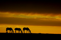 Charlando com Deus... (Eduardo Amorim) Tags: sunset brazil horses horse southamerica field brasil criollo caballo cheval atardecer caballos tramonto sonnenuntergang prdosol campo cavalos pelotas pferde cavalli cavallo cavalo pferd riograndedosul pampa poniente champ anoitecer coucherdesoleil hest hevonen campanha brsil chevaux entardecer crepsculo  amricadosul poente hst  amriquedusud   sudamrica suramrica amricadelsur  sdamerika crioulo caballoscriollos criollos  tropillas costadoce americadelsud tropilhas tropilla  crioulos cavalocrioulo americameridionale caballocriollo auffangen eduardoamorim cavaloscrioulos