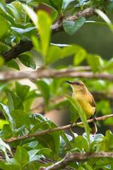 Picabuey (Machetornis rixosa?) (alejocock) Tags: costa fauna ave caribe machetornisrixosa islafuerte picabuey