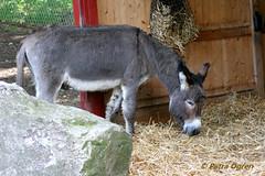 Gr sna (Scratchblack) Tags: cute animals sweden adorable burro esel asinus djur gomar st djurpark baudet sna  snor zelis