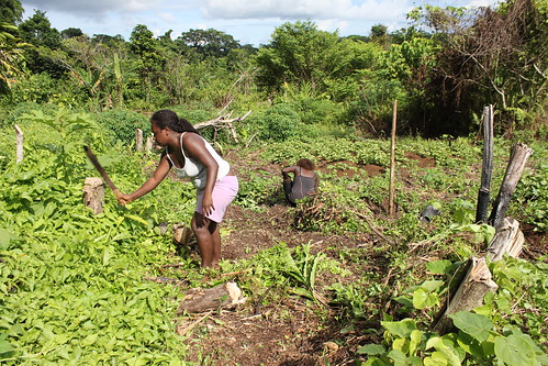 Preparing the sweet potato garden for planting.  Western Province, Solomon Islands. Photo by Wade Fairley, 2012.