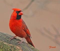 Cardinal (frank1556) Tags: cardinal