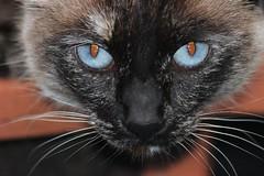 Jasper (donnazoll) Tags: cat feline jasper fierce blueeyes playful dz tortiesiamese neighborfriend donnazoll