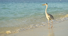 The Maldives Wanderer (Jamie Frith) Tags: ocean bird beach heron grey sand nikon bubbles maldives d800 2470 huvafenfushi