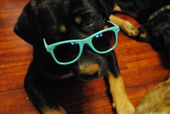 Too Cool for You (Bad Apple Photography) Tags: dog puppy jack mutt mix stock creative hound commons rottweiler cc shelter dogtography