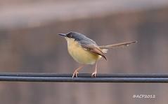 Ashy Prinia (Prinia socialis) (acp009) Tags: summer brown india macro nature colors birds closeup wire nikon nikkor prinia karnataka ashy belgaum socialis indianbirds d5100 nikond5100