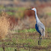 Sandhill Crane in the Sacramento Valley