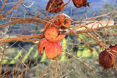 Granatäpfel (Marlis1) Tags: fruits bokeh pomegranates catalunya granadas magranes punicagranatum granatäpfel paüls marlis1 magraner canoneos1000d mangraner