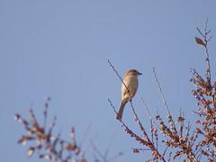 Bull-headed shrike (Polotaro) Tags: bird nature pen olympus  zuiko ep1       fzuiko300mmf45