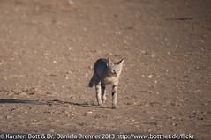 "African Wildcat • <a style=""font-size:0.8em;"" href=""http://www.flickr.com/photos/56545707@N05/8364531489/"" target=""_blank"">View on Flickr</a>"