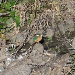 (nubobo) Tags: bird sony kingfisher dschx5v hx5v