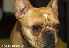 P52-Wk3 - His Name is Angus Bulldog (Wild Song Photo) Tags: pets angus bulldog kentweakleyp52wk3