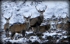Red Deer Stags - Scottish Highlands (Ally.Kemp) Tags: winter red wild snow scotland stag wildlife scottish loch ness stags invernessshire whitebridge