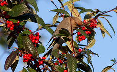 Waxwing in Cotoneaster cornubia