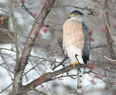 Cooper's Hawk not getting any respect. (Jim Frazier) Tags: wood trees winter plants snow cold nature colors birds animals gardens fauna contrast forest woodland illinois woods flora funny humorous alone natural gardening hawk wildlife humor aves il single frame ouryard lonely batavia framing kanecounty kane february stories solitary horticulture isolated captions coopershawk woodlot ruleofthirds accipiter q2 katesgarden 2013 ldfebruary jimfraziercom wmembed ld2013
