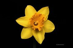 Yellow daffodil (jlcummins - Washington State) Tags: flowers daffodil asingleflower floraaroundtheworld ourwonderfulandfragileworld