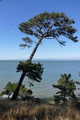 the leaning pine (Riex) Tags: pine sapin tree arbre bay baie sfba park california sanfranciscobay coyotepointpark parc nature californie fz1000 leicadcvarioelmarit