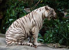 White Tiger (Merrillie) Tags: singaporezoo cat tiger whitetiger photography wildlife singapore zoo fauna d5500 nikon animals