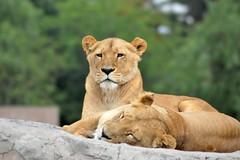 Bellas  leonas (castorssito) Tags: zoo nikon felinos lioness bigcats leona nikond3200 grandesfelinos