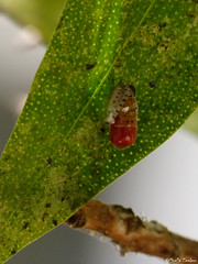 Birth vedalia beetle (Geminiature Nature+Landscape Photography Mallorca) Tags: rodoliacardinalisvedalia beetle vedaliabeetle satges developement pupa pop life cycle lifecycle cyclus cyclo macro raynox dcr 250 mallorca lieveheersbeestje ladybug ladybird mariquita