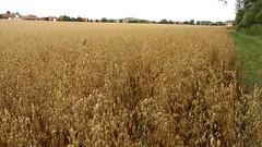 Getreidefeld bei Gau-Odernheim