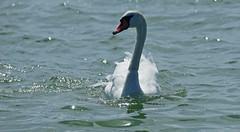 zwaan verstrikt in een visdraad (kees torn) Tags: florafauna nieuwewaterweg hoekvanholland zwaan