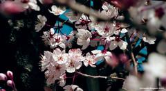 ciruelo de cerca (ojoadicto) Tags: flowers flores ciruelo arbol tree nature naturaleza artisticphotography macro ramas