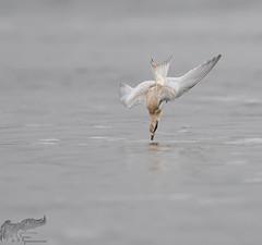 Juvenile Tern Dive 8_20 (krisinct- Thanks for 12 Million views!) Tags: nikon d500 500 f4 vrg