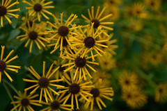 A Warm Summer Ending (SunnyDazzled) Tags: henryeilers rudbeckia yellow autumn perennial blooming spikes pinwheels spoon petals warm evening september nature flower bloom flores skylands newjersey state botanicall gardens macro bokeh