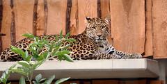 Lopard (Carahiah) Tags: zoologischer garten karlsruhe zoologischergartenkarlsruhe zoodekarlsruhe allemagne deutschland zoo parc botanique zoologique leopard schauen nachdenklich liegend couch pensif regard looking